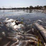 Retiran tres toneladas de peces muertos en el mar Menor (España)
