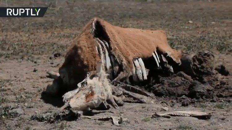 Unos 106.000 animales de granja han muerto por sequía en Chile