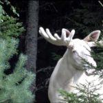 Impresionante alce de color blanco en Suecia