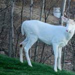 Poco frecuente ejemplar de ciervo albino visto en la zona de Pittsburgh (Estados Unidos)