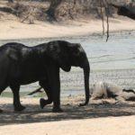 Más de 100 elefantes mueren en Zimbabue en cuestión de solo dos meses