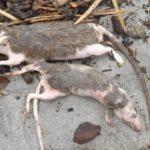Cientos de ratas aparecen muertas en las playas de la Costa Oeste de Nueva Zelanda
