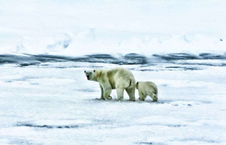Los habitantes de Ryrkaypiy se están viendo acosados por osos polares (Rusia)