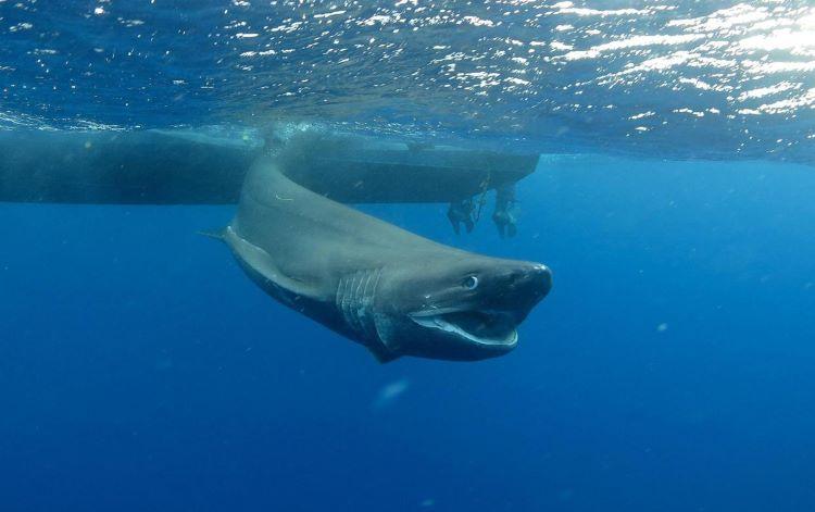 Tiburón prehistórico, de seis branquias, avistado frente a la costa de Irlanda